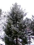 Snow-covered pine