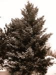 Pines, love 'em!