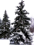 Towering snow-covered pines...