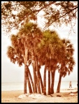 Cluster of palm trees on Coquina Beach